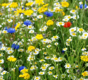 wildflowers grown in haveley hey primary school wildlife garden